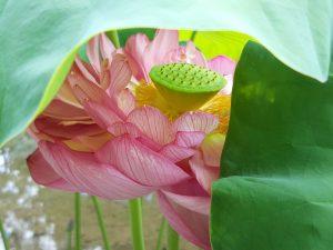 Fotografie CreaHeart: Japanse waterlelie