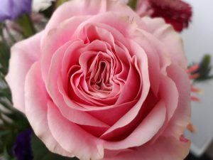 Fotografie CreaHeart: Roze roos