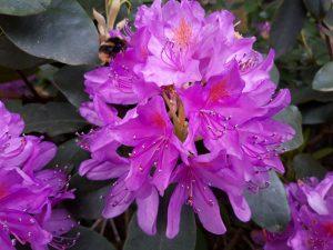 Fotografie CreaHeart: Rododendron