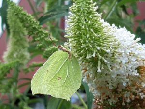 Foto lichtgroene vlinder op een vlinderstruik